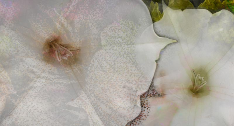 Datura Moon Whispers | datura flowers and colored lights montage