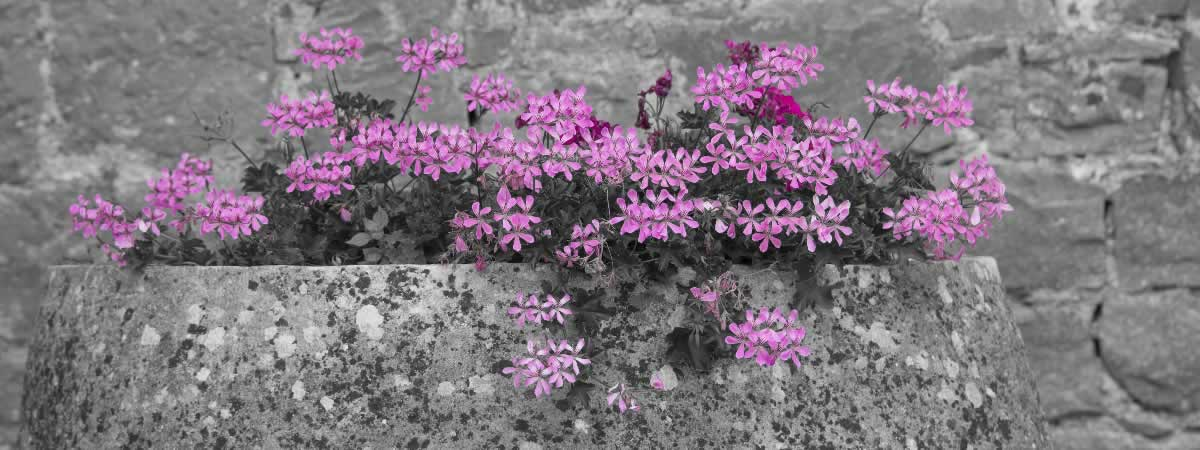 pink flowers in a grey rock planter