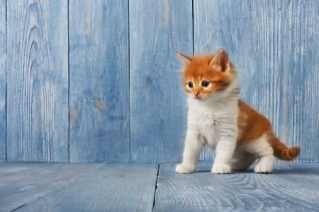 orange and white kitten looking left against a blue fence